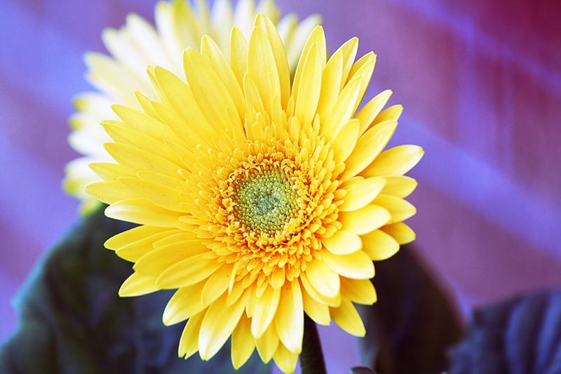 bright yellow flower with purple background